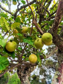 Lemon grove at Cerro San Luis Obispo 1