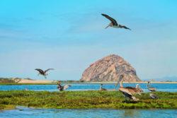 Nesting Pelicans in Morro Bay State Park 4