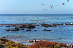 Pelicans flying over Elephant Seal Colony Hearst San Simeon California State Park 2