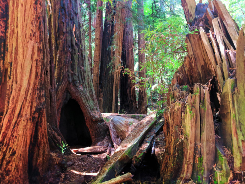 Burned out redwoods in Muir Woods National Monument 3