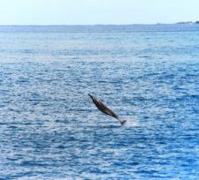 Hawaiian Spinner Dolphins catamaran snorkeling with Aulani Oahu 2