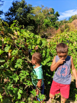 Taylor Family picking grapes at John Muir National Historic Site Martinez East Bay 3