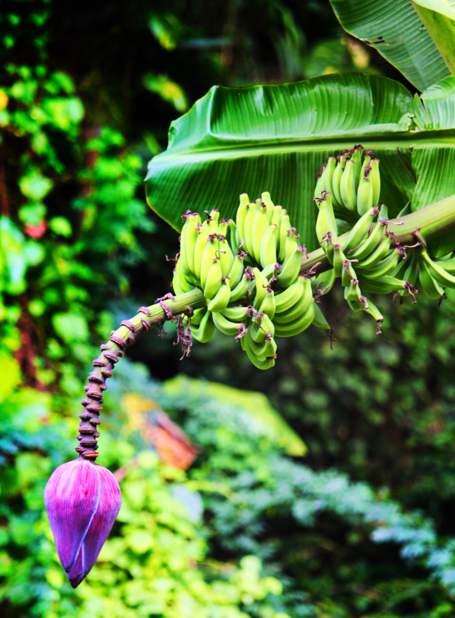 Banana Tree at Waimea Valley North Shore Oahu 3