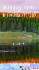 Best-wildlife-Viewing-in-Yellowstone-National-Park-pin-1-127x225.jpg