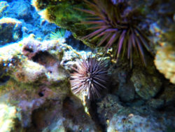 Colorful urchins at Sharks Cove North Shore Oahu