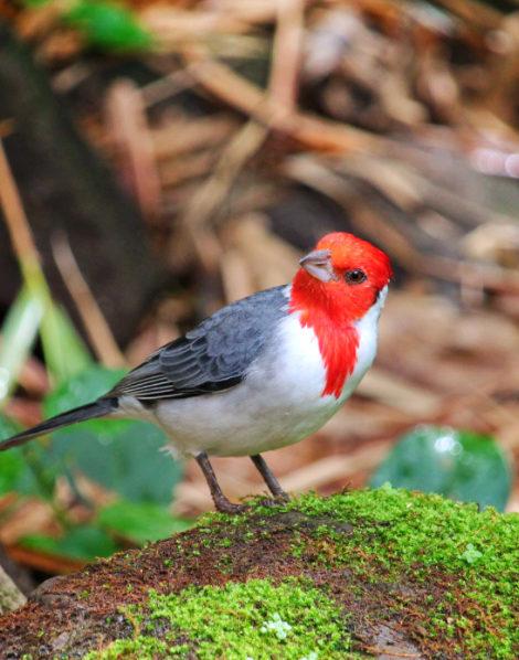 Hawaiian-Cardinal-at-Waimea-Valley-North-Shore-Oahu-2-e1513981590535.jpg