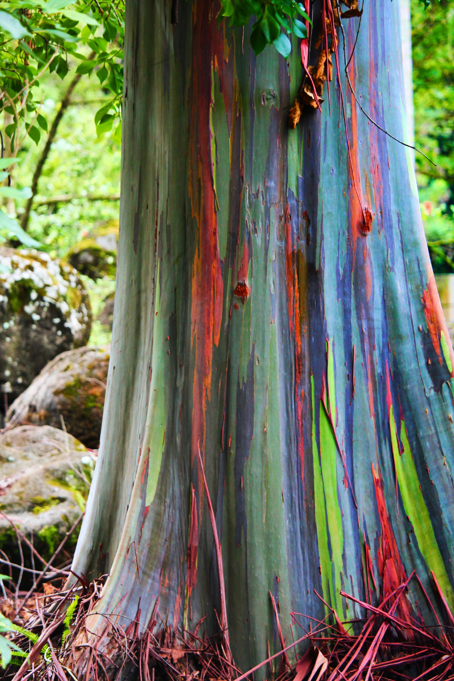Rainbow Eucalyptus in Waimea Valley North Shore Oahu 4