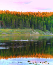 Trumpeter-Swans-on-river-in-Yellowstone-National-Park-Wyoming-1-185x225.jpg