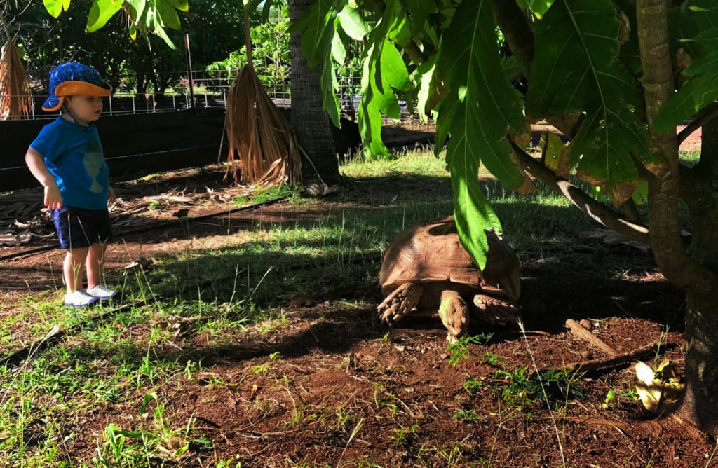 Tortoise at Poipu Koloa on Kauai