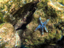Blue-seastar-underwater-in-Sharks-Cove-Haleiwa-North-Shore-Oahu