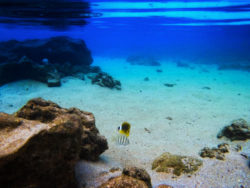 Colorful-fish-underwater-in-Sharks-Cove-Haleiwa-North-Shore-Oahu-1