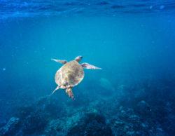 Hawaiian-Green-Sea-Turtle-catamaran-snorkeling-with-Aulani-Oahu-1