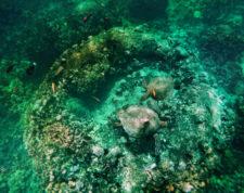 Honu Hawaiian Green Sea Turtle Catamaran Snorkeling Waienai Oahu