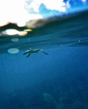 Honu Hawaiian Green Sea Turtle Catamaran Snorkeling Waienai Oahu 2