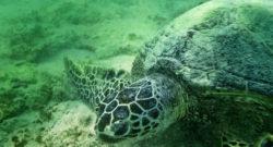 Honu Hawaiian Green Sea Turtle underwater at Lanikai Oahu
