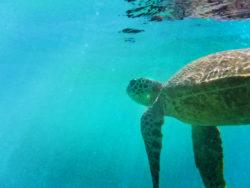 Hawaiian Green Sea Turtle Honu off Oahu 1