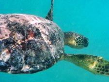 Honu Hawaiian Green Sea Turtle underwater at Lanikai Oahu 2