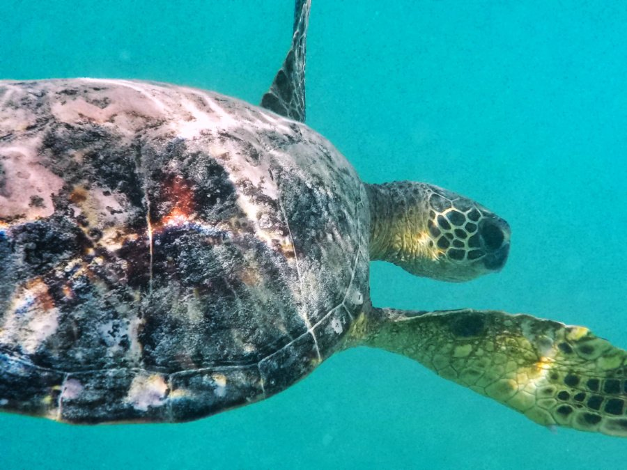 Honu Hawaiian Green Sea Turtle underwater at Lanikai Oahu 2