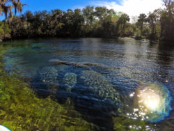 Manatees at Blue Spring State Park Central Florida Paddleboard Orlando 3