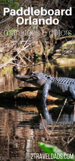 As a day trip added onto an Orlando vacation, a day with Paddleboard Orlando is ideal to explore Blue Spring State Park and the Wekiva River. Hundreds of manatees flock to Blue Spring in Central Florida and Wekiva is teeming with alligators and turtles. 2traveldads.com