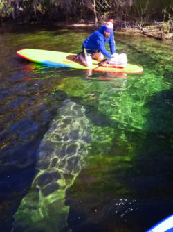 Manatee at Blue Spring State Park Central Florida Paddleboard Orlando 2