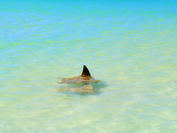 Eagle Rays on sandbar off Isla Holbox Yucatan 2