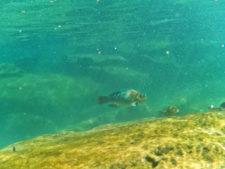 Parot Fish at Cenote Yal Ku Akumal Yucatan Road Trip 1