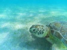 Sea Turtle on sea floor at Akumal Yucatan Peninsula