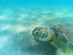 Sea Turtle on sea floor at Akumal Yucatan Peninsula