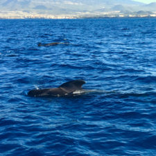 Wind Expedition pilot whales in Mediterranean Sea 1