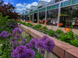 Alliums in bloom at Denver Botanic Gardens Denver Colorado 1