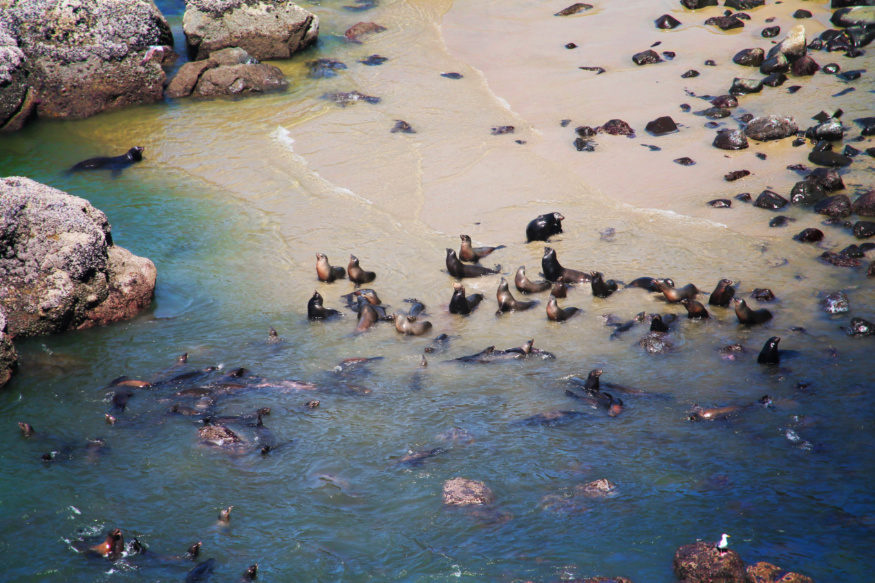 Sea Lions from Highway 101 Winding Road Florence Oregon Coast 6