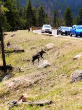 Young Moose in Rocky Mountain National Park Colorado 1