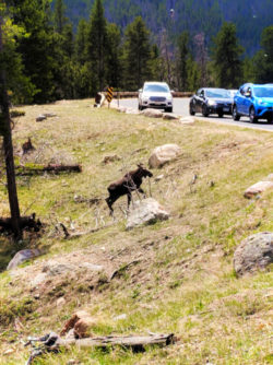 Young Moose in Rocky Mountain National Park Colorado 1