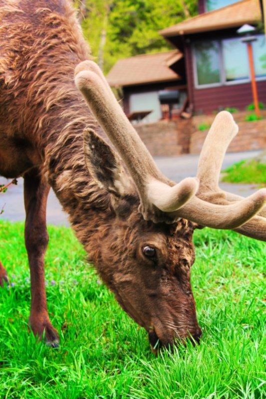 Bull Elk at McGregor Mountain Lodge Estes Park Colorado 6