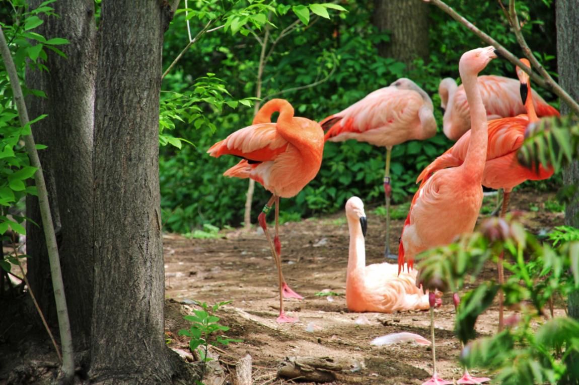 Flamingos at Denver Zoo Colorado 1