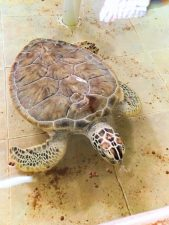 Turtle in recovery at Tortuganja Isla Mujeres Quintana Roo Mexico 1