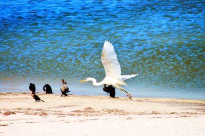 Great Egret at Yum Balam Preserve Isla Holbox Yucatan 7