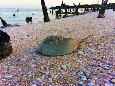 Horseshoe crab on beach on Isla Holbox Quintana Roo Mexico 1