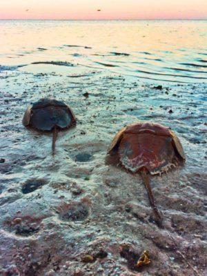 Horseshoe crab on beach on Isla Holbox Quintana Roo Mexico 2