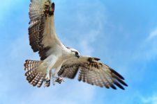 Osprey at Yum Balam Preserve Isla Holbox Yucatan 7