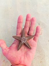 Overturned Sea Star on beach at Isla Holbox Quintana Roo Mexico 1