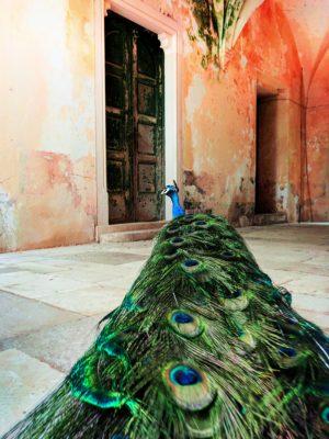 Peacock-in-collonade-at-monastery-on-Otok-Locrum-Island-Dubrovnik-Croatia-2-300x400.jpg