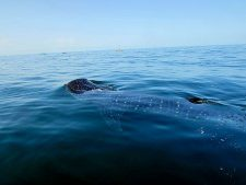 Whale Shark surfacing off Isla Holbox Mexico from Coffee With a Slice of Life 1