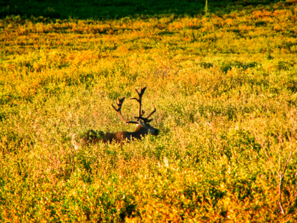Fall Colors with Caribou in Tundra in Denali National Park Alaska 1
