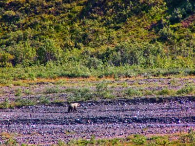 Fall Colors with Grizzly on Toklat River Tundra in Denali National Park Alaska 1