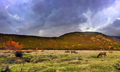 Fall Colors with Herd of Elk in Rocky Mountain National Park Colorado 2