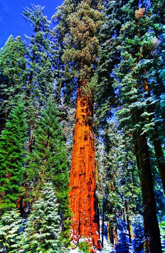 Giant Sequoia Tree in Snow Sequoia National Park 1