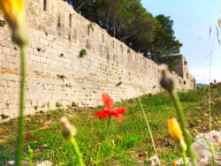Poppies at Fortress St George Port of Vis Croatia 1