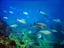 Colorful fish school with Pelagic Safari Cabo San Lucas Adventures in Baja 6